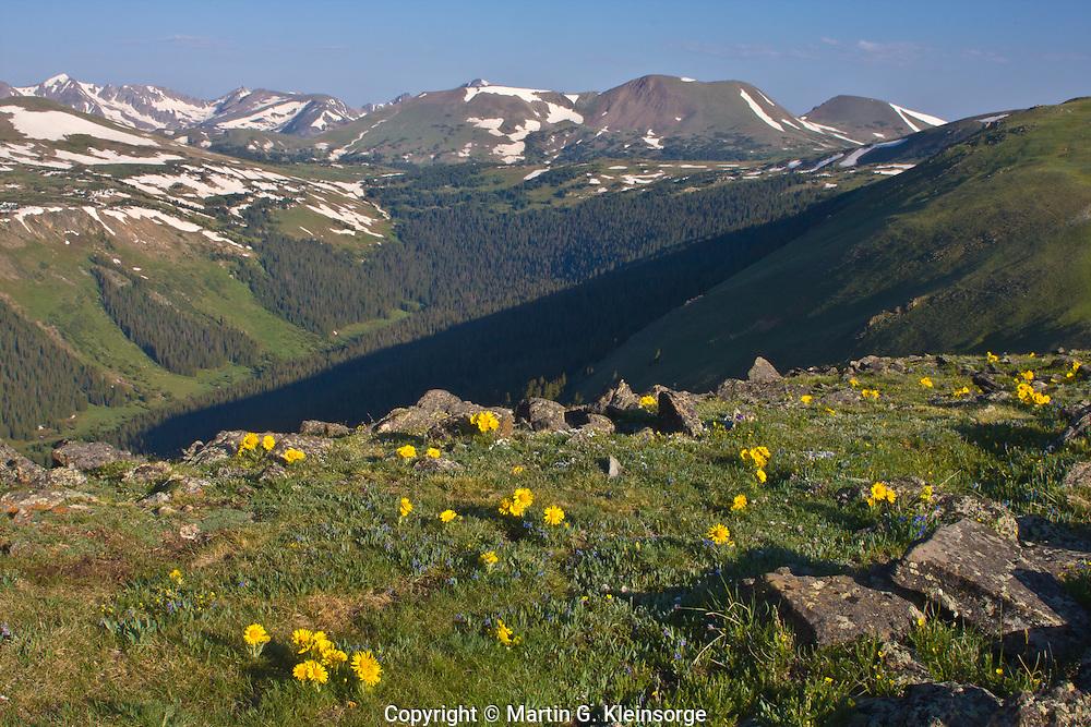 Alpine sunflowers (Hymenoxys grandiflora) found on the alpine tundra along Trail Ridge Road, Rocky Mountain National Park. Colorado.