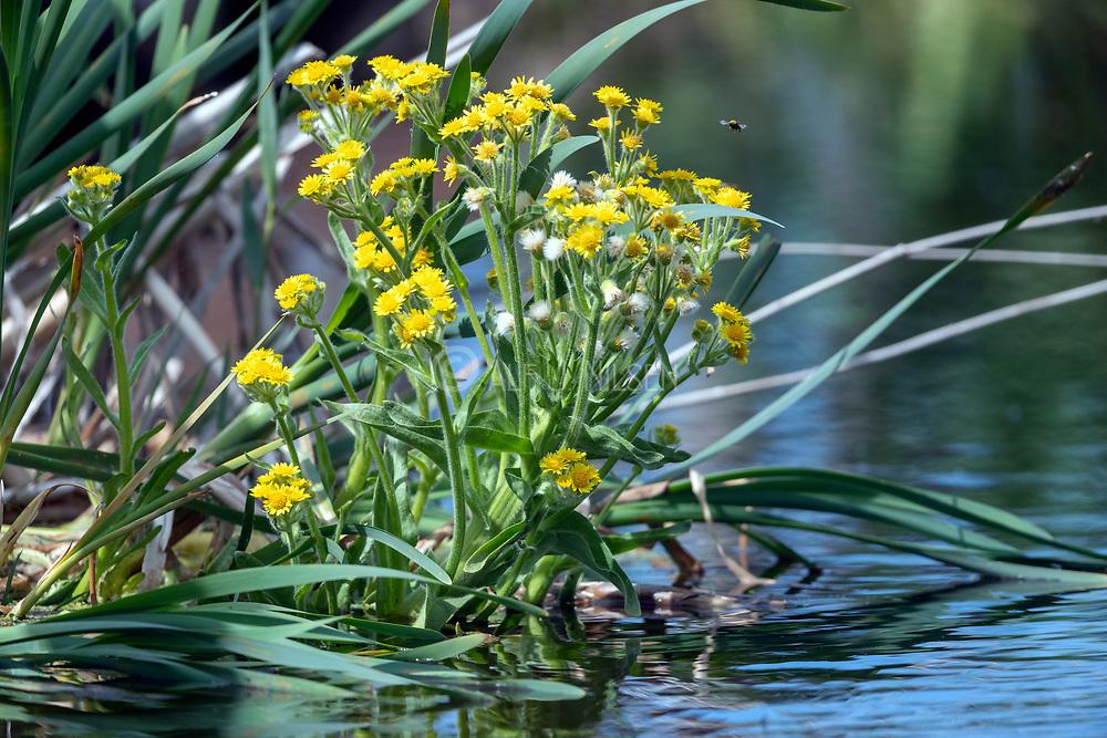 Marsh ragwort (Tephroseris palustris) from Vejlerne, northern Denmark.