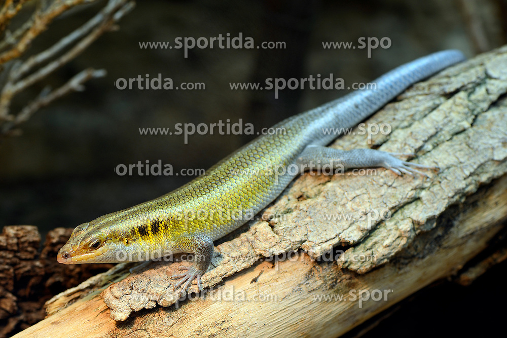 THEMENBILD - Blauschwanzskink (Trachylepis quinquetaeniata), captive, Vorkommen Afrika // Blue-winged skink (Trachylepis quinquetaeniata), captive, Occurrence Africa. EXPA Pictures © 2017, PhotoCredit: EXPA/ Eibner-Pressefoto/ Schulz<br /> <br /> *****ATTENTION - OUT of GER*****
