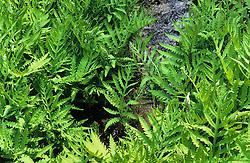 Onoclea sensibilis AGM. Sensitive fern, Bead fern