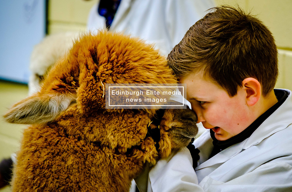 Lanark Scotland 15th April 2017:  The Second Scottish Alpaca Championship, organised by the Scottish Alpaca Group, took place on Saturday 15th April 2017 at Lanark Auction Market. The event had a record entry of 140 alpacas being shown and judged.<br /> <br /> An Alpaca in the show ring with it's young handler.<br /> <br /> (c) Andrew Wilson | Edinburgh Elite media