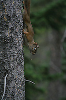 Adventurous Squirrel at Two-Jack Lake near Banff