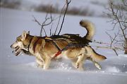 Lead dogs breaking trail