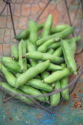 Harvested Crimson flowered broad beans in a basket - Vicia faba