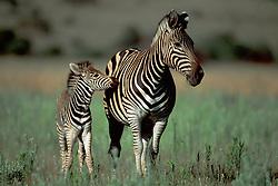 Sept. 29, 2015 - Burchell''s Zebras, mare with foal, Pilanesberg Park, South Africa  (Credit Image: © Sator, Whj/DPA via ZUMA Press)