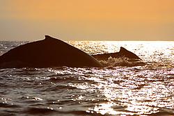 Humpback Whales surfacing at sunset, Megaptera novaeangliae, Hawaii, Pacific Ocean