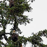 North America, Canada, British Columbia, Vancouver Island. Pair of Bald Eagles.