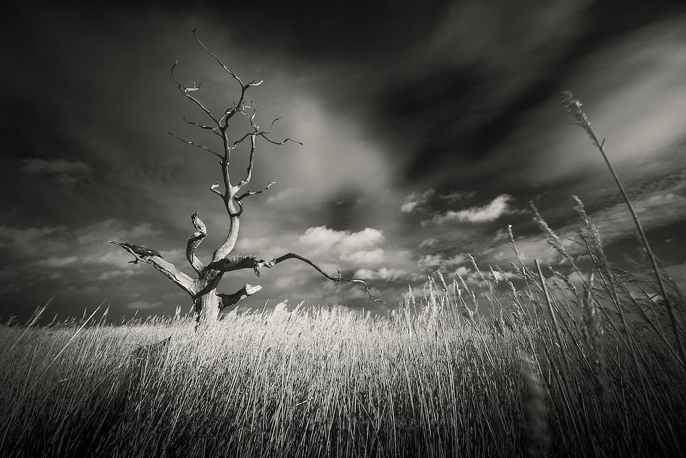 Iconic dead oak tree at Iken Fen in Suffolk