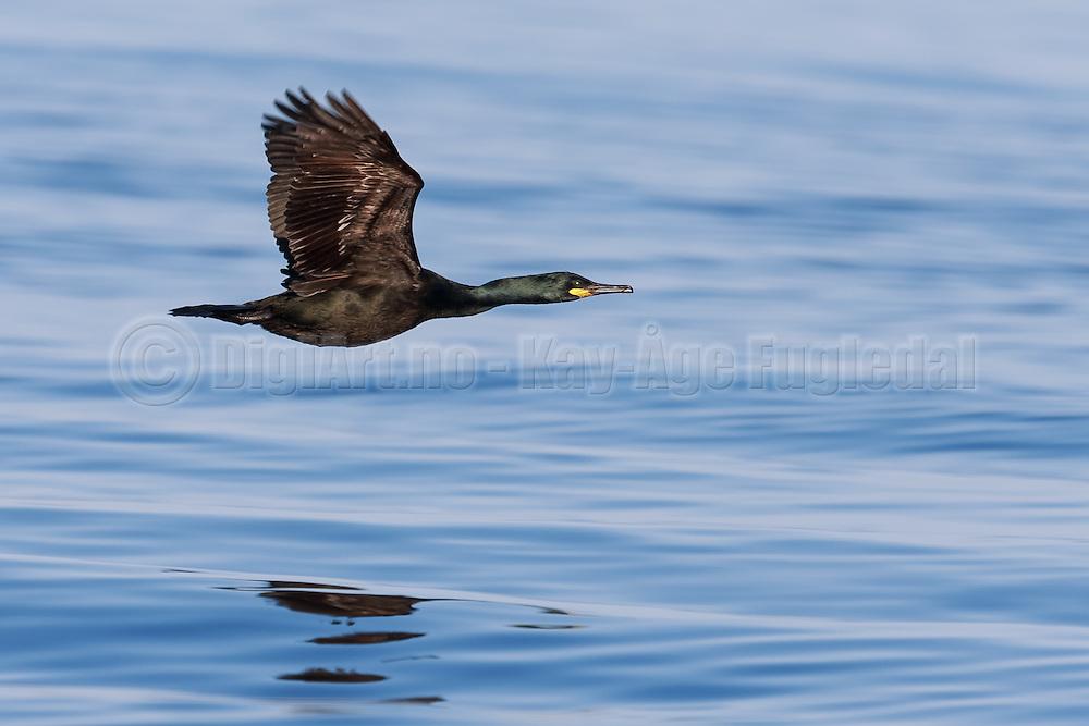 Cormorant in flight | Skarv i flukt