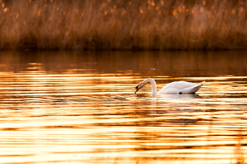 A lonely swan in Mandrensko lake at sunset