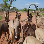 Venda man in Hamakuya riding in a mule-drawn cart with a whip. Venda village in Limpopo Province, South Africa.