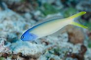 Hoplolatilus starcki (Bluehead Sandtilefish)