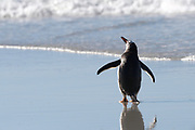 A Gentoo penguin (Pygoscelis papua) stands on the beach on Saunders island on Sunday 4th February 2018.
