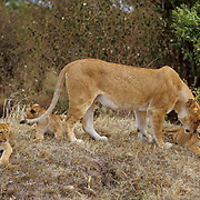 African Lion, (Panthera leo) Lioness playing with cub. Masai Mara Game Reserve. Kenya. Africa.