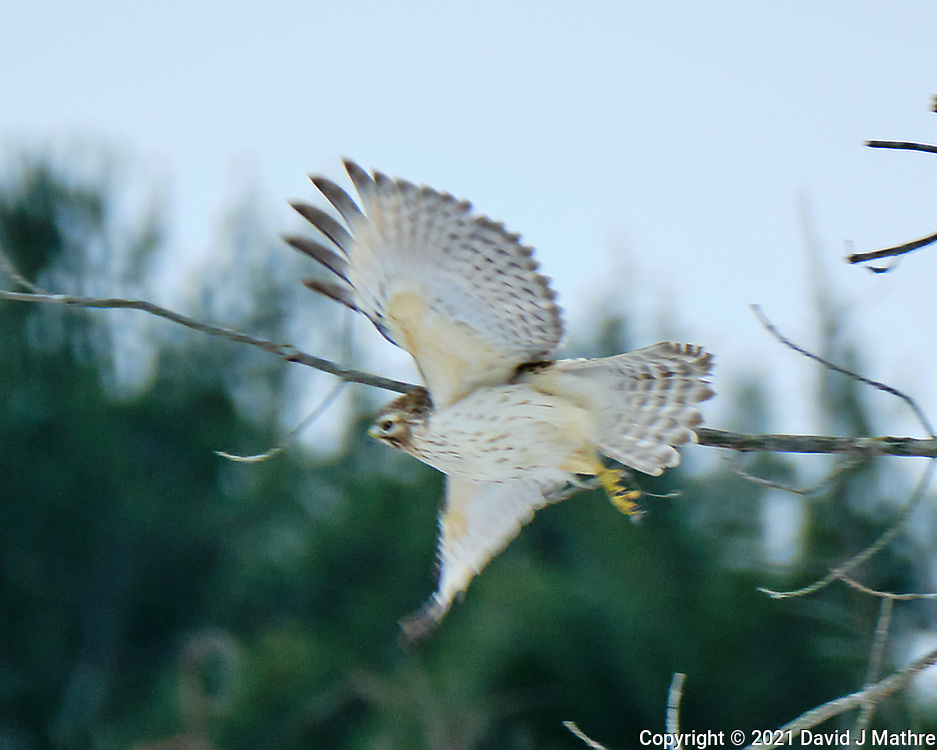 Cooper's Hawk (Accipiter cooperii). Image taken with a Fuji X-H1 camera and 100-400 mm OIS lens (ISO 200, 400 mm, f/5.6, 1/640 sec).