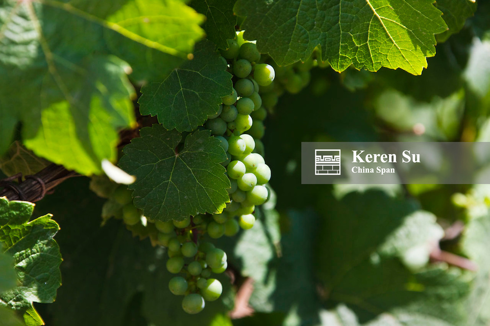 Grapes in the vineyard, Upper Middle Rhine Valley (UNESCO World Heritage site), St. Goars-Hausen, Germany