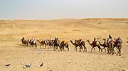 Camel caravan in the desert near the Giza Pyramids in Egypt