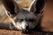 Bat-eared fox (Otocyon megalotis) | Trotz der enormen Größe seiner Ohren gehört der Löffelhund (Otocyon megalotis) weltweit zu den kleinsten Vertretern der Hundeartigen. Mit einem Körpergewicht von 3 bis 4 kg ist er eher vergleichbar mit einer Hauskatze. Genetisch gesehen ist er allerdings noch erstaunlicher, denn er unterscheidet sich stärker als zu erwarten wäre von seinen Verwandten, den Füchsen und den Wölfen. Die im südlichen Afrika lebenden Löffelhunde werden oft auf Farmland am Rande der Wüste (z.B. der Namib) angetroffen, da durch die Besiedlung und Nutzung dieser Gebiete die großen Raubtiere wie z.B. Löwen, Leoparden und Geparden praktisch völlig verdrängt worden sind.<br /> |bat-eared fox (Otocyon megalotis)