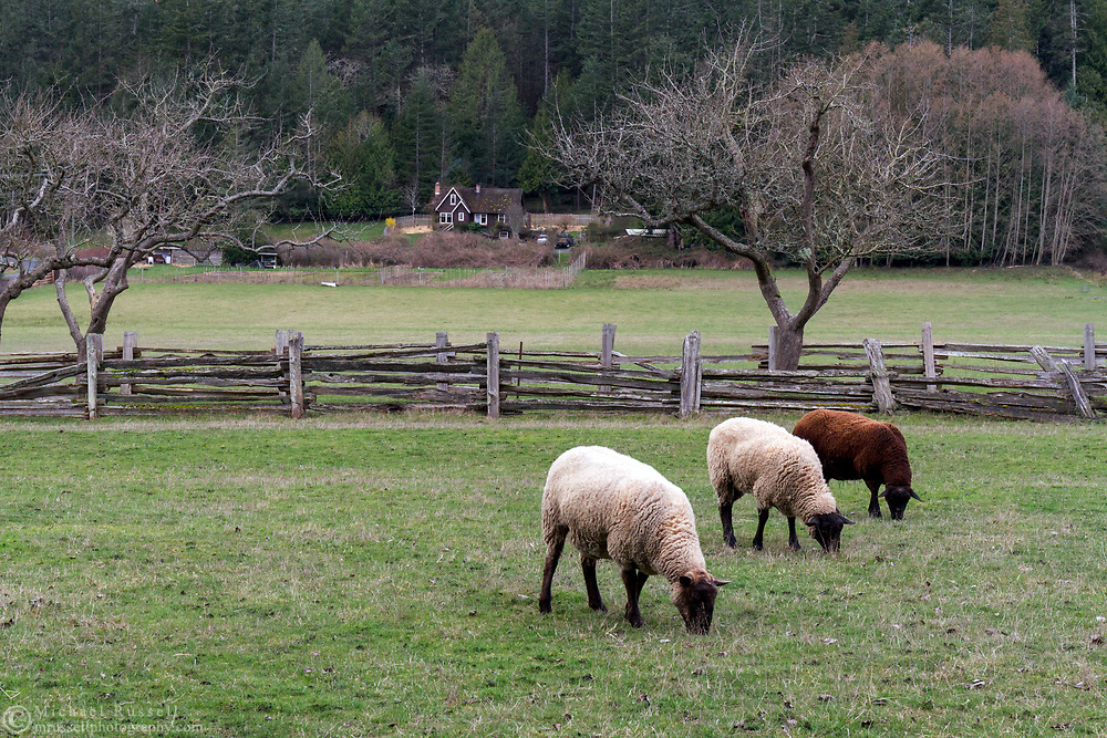 Sheep grazing in the spring at Ruckle Farm. Photographed in Ruckle Provincial Park on Salt Spring Island, British Columbia, Canada.  The farmhouse in the background was built by William Norman Ruckle in the 1930's.
