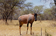 Topi, Serengeti, Tanzania