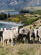 Scenes of New Zealand's iconic agricultural sector, alongside Lake Wakatipu, Otago, New Zealand.