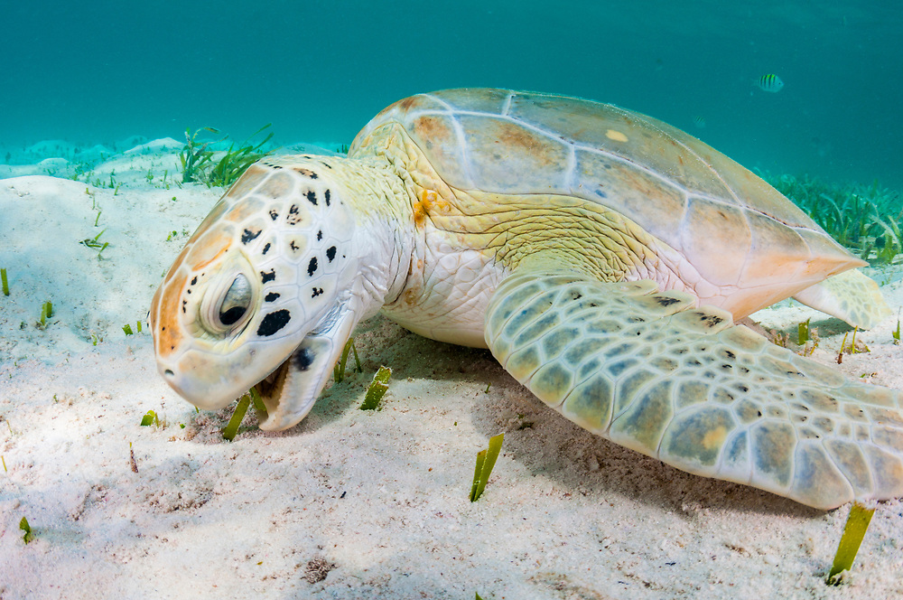 A green sea turtle eating turtle grass. This type of seagrass is their main diet, consuming about 4 pounds a day.