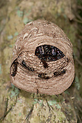 Paper Wasp Nest, Panama, Central America, Gamboa Reserve, Parque Nacional Soberania, Eusocial Paper Wasp Genera, Family Vespidae, subfamily Polistinae