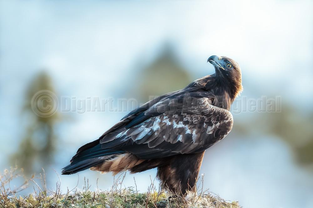 Golden Eagle sitting on the ground, looking back over the shoulder | Kongeørn som sitter på bakken og ser over skuldrene sine.
