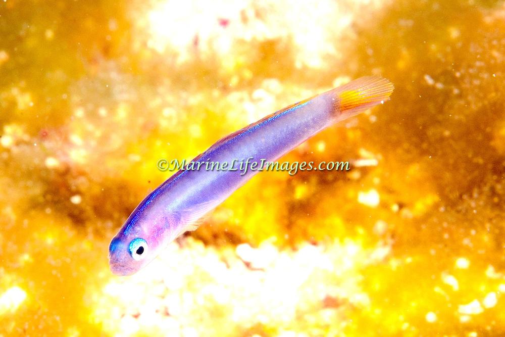 Hovering Dartfish hover above burrow in sand in Tropical Wesst Atlantic; picture taken Roatan, Honduras.
