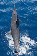 eastern spinner dolphin, Stenella longirostris orientalis, jumping and spinning, offshore from southern Costa Rica, Central America ( Eastern Pacific Ocean )