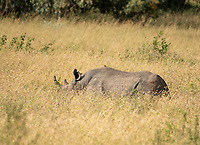 Southern White Rhinoceros, Ceratotherium simum simum, in Maasai Mara National Reserve, Kenya. A Yellow-billed Oxpecker, Buphagus africanus, is perched on its back.