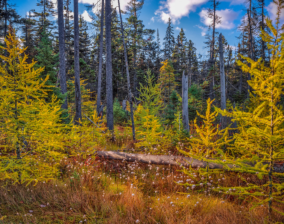 Tamarack trees in fall, with cotton grasses, with bog & spruce forest, White Mountain National Forest, Albany, NH