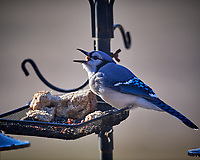 Blue Jay. Image taken with a Nikon D5 camera and 600 mm f/4 VR lens (ISO 560, 600 mm, f/4, 1/1250 sec).