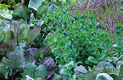 Cerinthe major 'Purpurascens'  with Brussel sprout 'Rubine' in the potager at West Green House garden