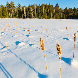 Cattails on a frozen beaver pond in Epping, New Hampshire.