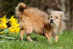 © Licensed to London News Pictures. 15/03/2019. London, UK. A dog is playing in amongst the Daffodils in Finsbury Park, north London in strong winds. Photo credit: Dinendra Haria/LNP