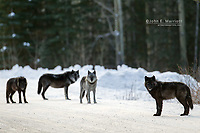 Wild wolves in the Canadian Rockies