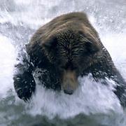 Alaskan Brown Bear, (Ursus middendorffi) Large male running, splashing through water. Katmai National Park. Alaska.