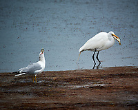 Ring-billed Gull harassing a Great Egret with a fish too big to swallow. Biolab Road, Merritt Island National Wildlife Refuge. Image taken with a Nikon D3s camera and 80-400 mm VR len (ISO 200, 400 mm, f/5.6, 1/400 sec).