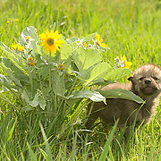 Gray Wolf, (Canis lupus) Young pup next to Balsam Arrowroot flower. Spring. Montana. Captive Animal.