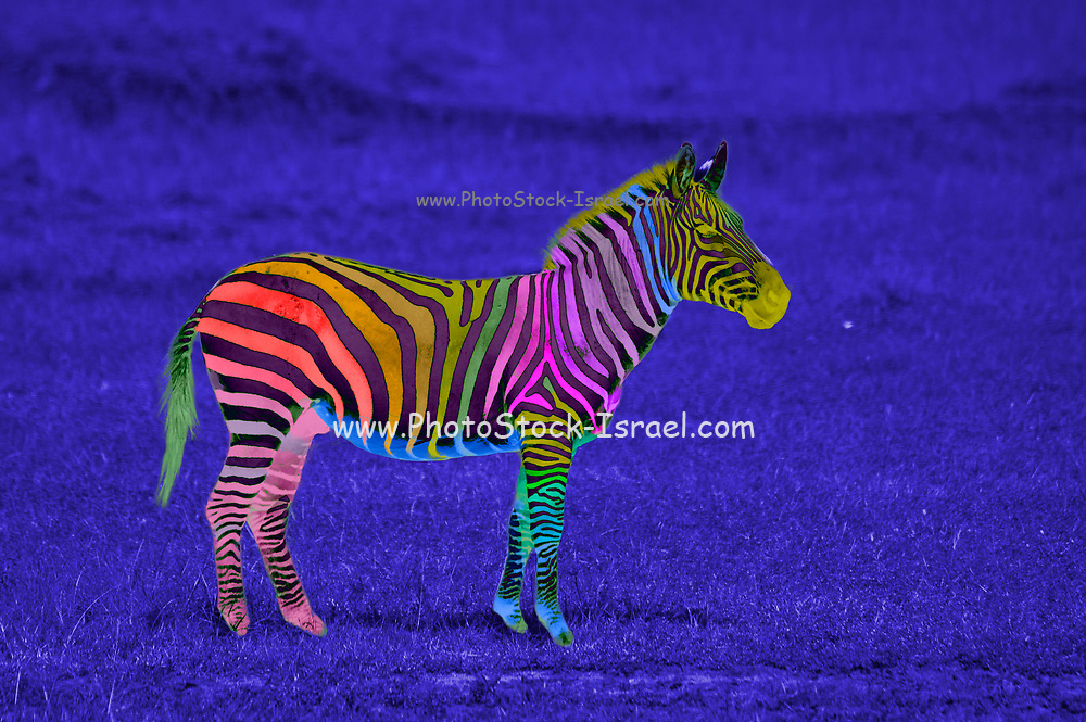 Digitally enhanced image of a multi colored painted plains zebra on blue background