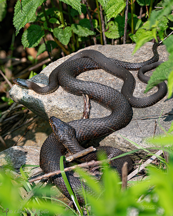 A male and female Northern Water Snake (Nerodia sipedon) bask on warm rocks in the morning sun.  As is usuall for this species, the female is far larger than the male.<br /> <br /> These snakes can grow up to 135 cm (4 ft 5 in) in total length.  Adult females can weigh up to 408 g (14.4 oz) in average body mass while the smaller males average up to 151 g (5.3 oz). The largest females can weigh up to 560 g (20 oz) while the largest males are 370 g (13 oz). <br /> <br /> Northern Water Snakes are found throughout eastern and central North America, from southern Ontario and southern Quebec in the north, to Texas and Florida in the south.  <br /> <br /> The northern water snake is nonvenomous but can give a painful bite.  They superficially resemble the venomous cottonmouth and are often misidentified. Being active during the day and night, they hunt using both smell and sight. During the day, they hunt among plants at the water's edge, looking for small fish, frogs, worms, leeches, crayfish, salamanders, small birds and mammals. At night, they concentrate on minnows and other small fish sleeping in shallow water. <br /> <br /> This photograph is a two image focus stack.