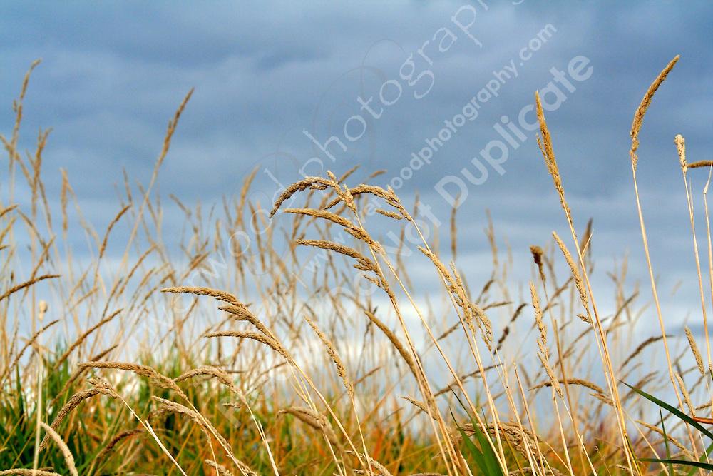 Tall Grass Prairie east of Calgary near Calgary, AB..©2007, Sean Phillips.http://www.Sean-Phillips.com