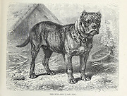 Bull-Dog [Bulldog] From the book ' Royal Natural History ' Volume 1 Section II Edited by  Richard Lydekker, Published in London by Frederick Warne & Co in 1893-1894