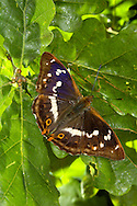Purple Emperor Apatura iris Wingspan 65mm. An impressive and iconic butterfly of broadleaved woodlands with tall oaks and mature Goat Willows (the larval foodplant). Adult has brown upperwings marked with a white band; the male has the purple sheen, only seen at certain angles. Underwings of both sexes are chestnut with a white band. Flies July-August. Larva is green with diagnostic 'horns' at head end. Rare and local, restricted to a few good woodlands in southern England.