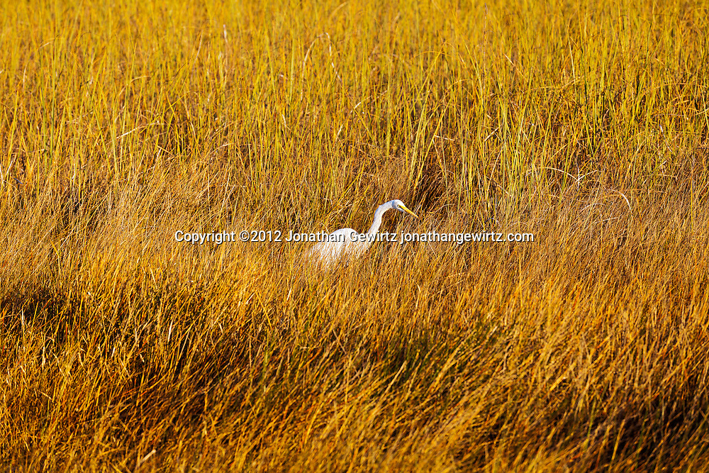 A Great Egret (Ardea alba) or Great White Heron (Ardea herodias) hunting in a sawgrass marsh in the Shark Valley region of Everglades National Park, Florida. WATERMARKS WILL NOT APPEAR ON PRINTS OR LICENSED IMAGES.