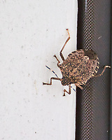 Stink Bug. Image taken with a Nikon 1 V3 camera and 70-300 mm VR lens.