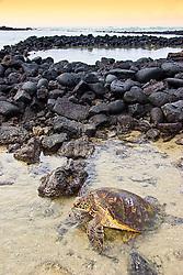 Tagged and released Green Sea Turtle, Chelonia mydas, resting at the piles of lava rocks of `Ai`Opio Fish Trap built by ancient Hawaiian, U.S. Marine Turtle Research, organized by researcher George Balazs PhD, NOAA National Marine Fisheries Service (NMFS), Hawaii Preparatory Academy (HPA) students and teachers (NOAA/HPA Marine Turtle Program), and ReefTeach volunteers at Kaloko-Honokohau National Historical Park, Kona Coast, Big Island, Hawaii, Pacific Ocean.