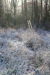 Seedheads in the chalk grassland at Strawberry Banks Nature Reserve, Gloucestershire on a frosty winter's morning. Three Groves Wood beyond