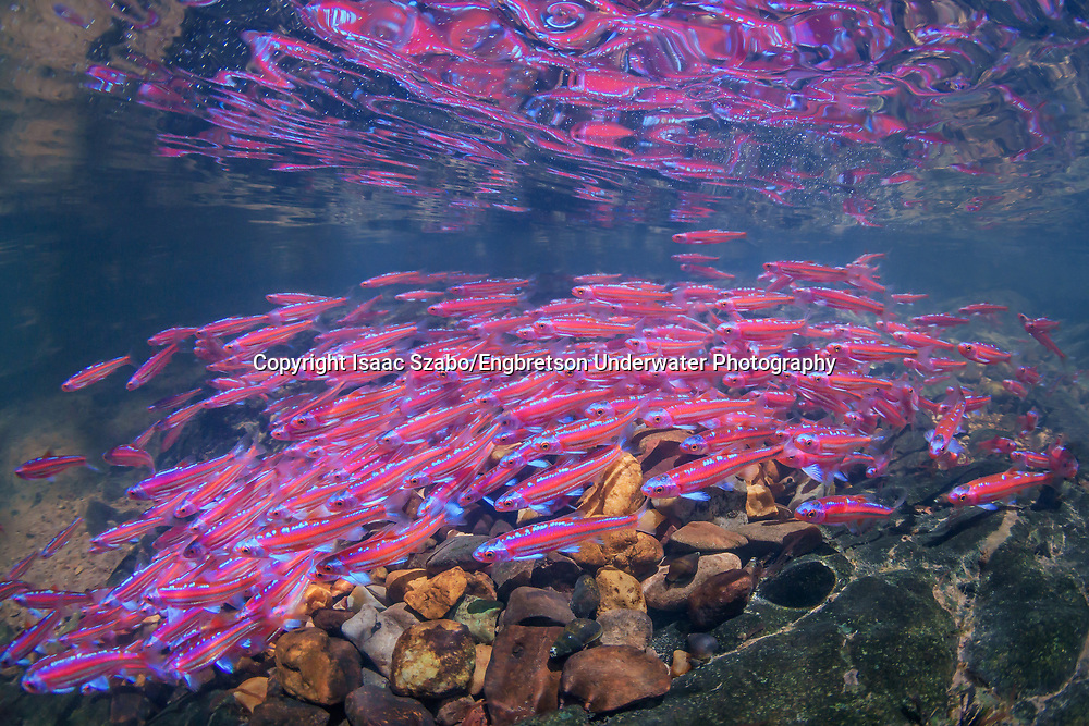 School of Rainbow Shiners in breeding colors<br /> <br /> Isaac Szabo/Engbretson Underwater Photography